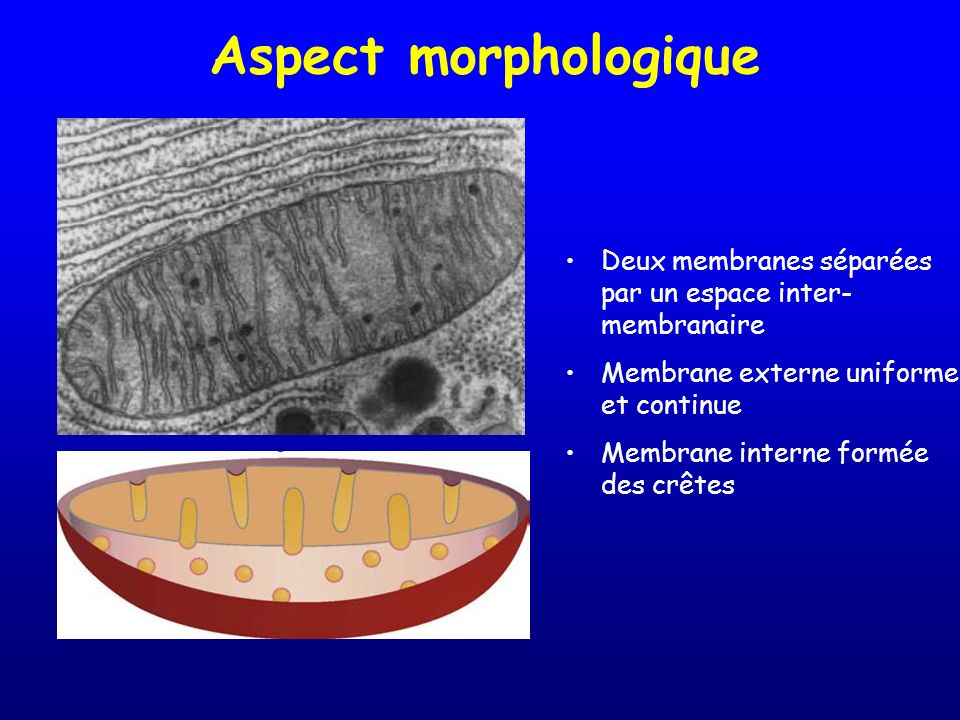 Aspect morphologique Deux membranes séparées par un espace inter-membranaire. Membrane externe uniforme et continue.