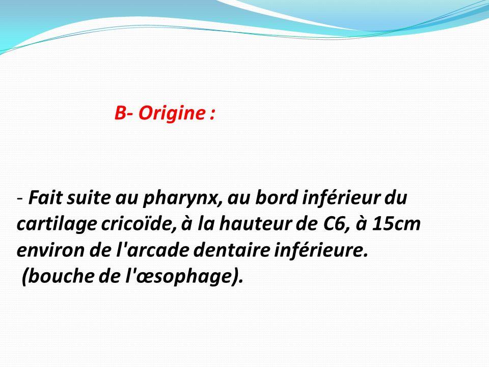 B- Origine : - Fait suite au pharynx, au bord inférieur du cartilage cricoïde, à la hauteur de C6, à 15cm environ de l arcade dentaire inférieure.