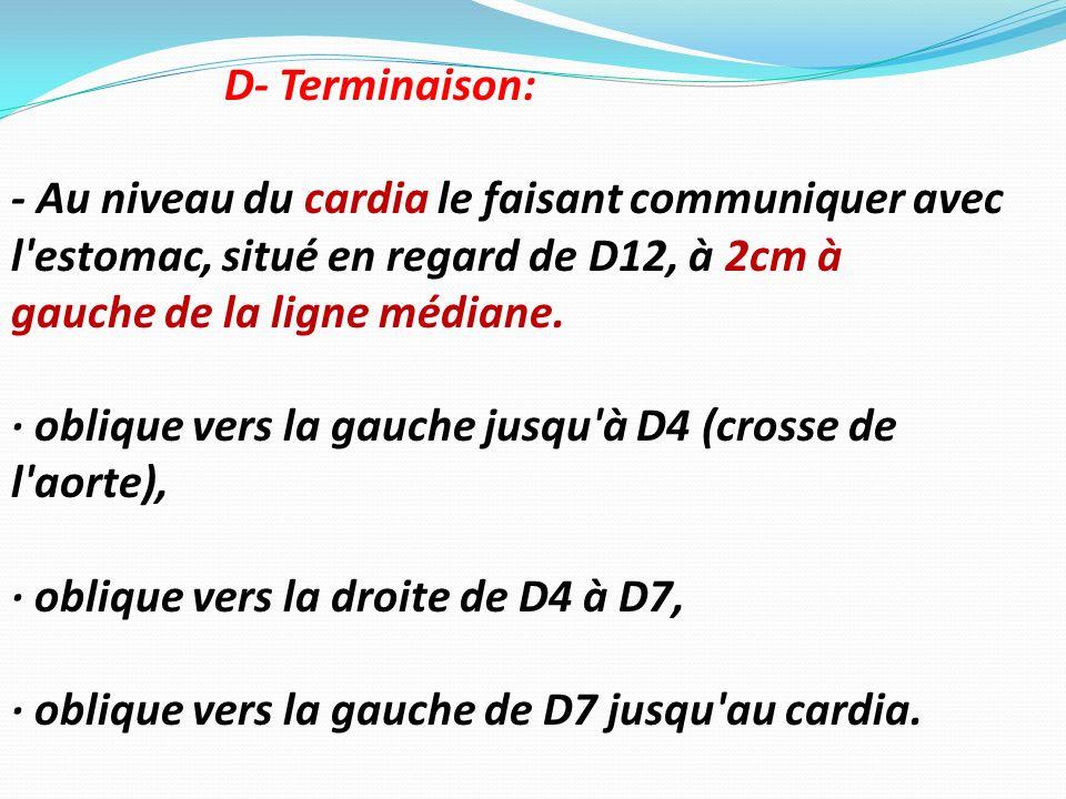 D- Terminaison: - Au niveau du cardia le faisant communiquer avec l estomac, situé en regard de D12, à 2cm à.