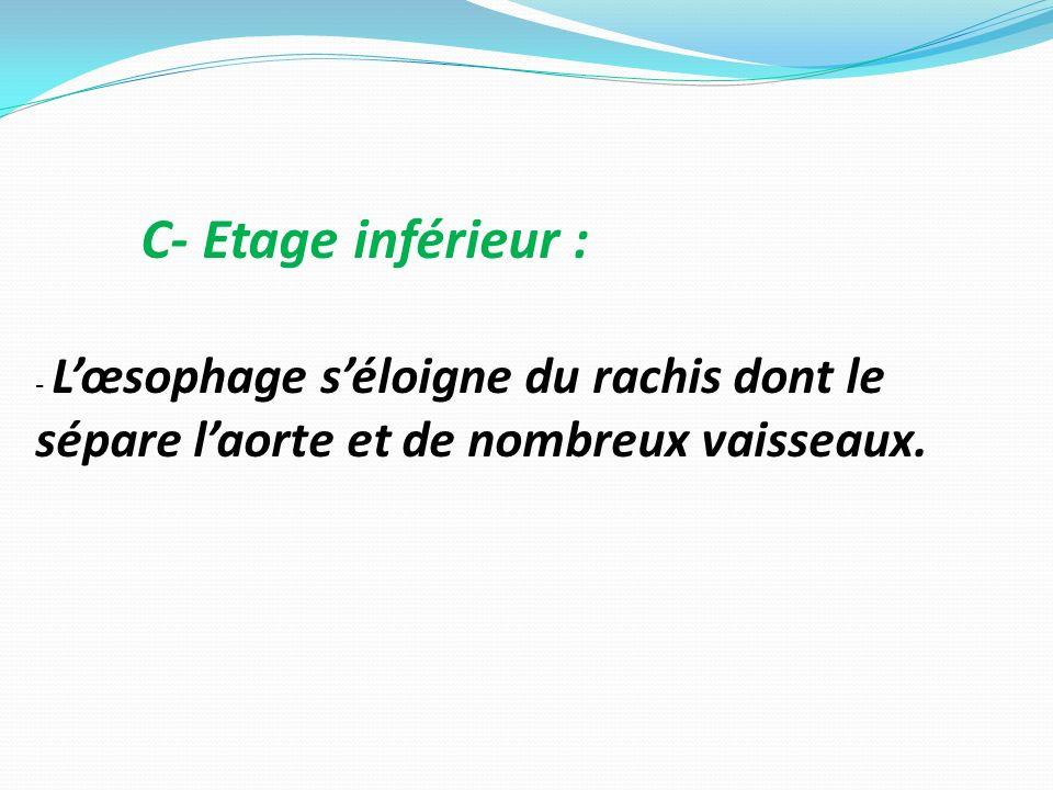 C- Etage inférieur : - L'œsophage s'éloigne du rachis dont le sépare l'aorte et de nombreux vaisseaux.