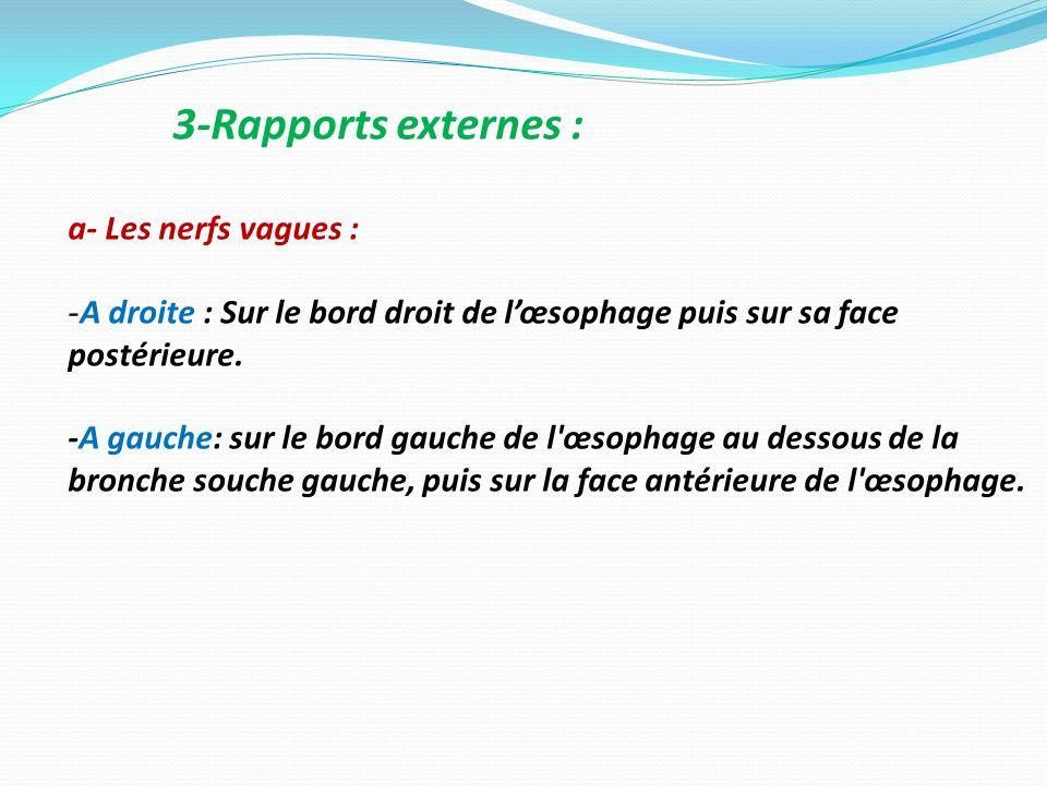 3-Rapports externes : a- Les nerfs vagues :