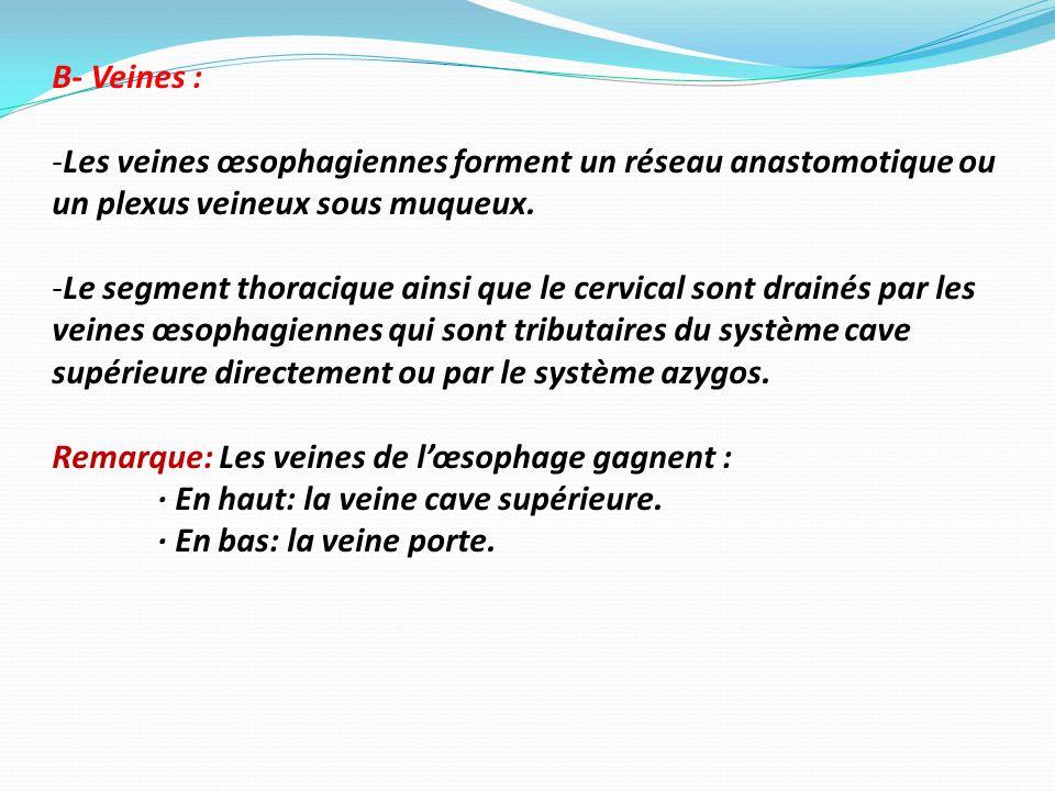 B- Veines : Les veines œsophagiennes forment un réseau anastomotique ou un plexus veineux sous muqueux.
