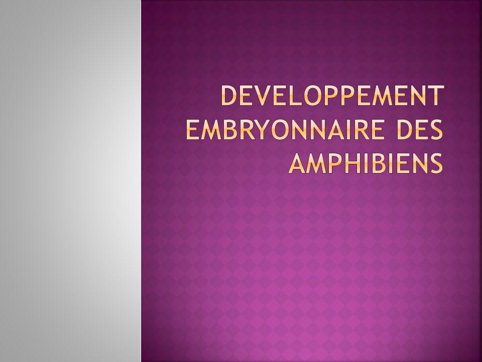 DEVELOPPEMENT EMBRYONNAIRE DES AMPHIBIENS