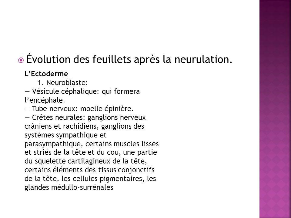Évolution des feuillets après la neurulation.