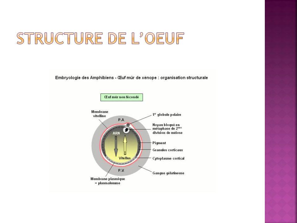 Structure de l'oeuf
