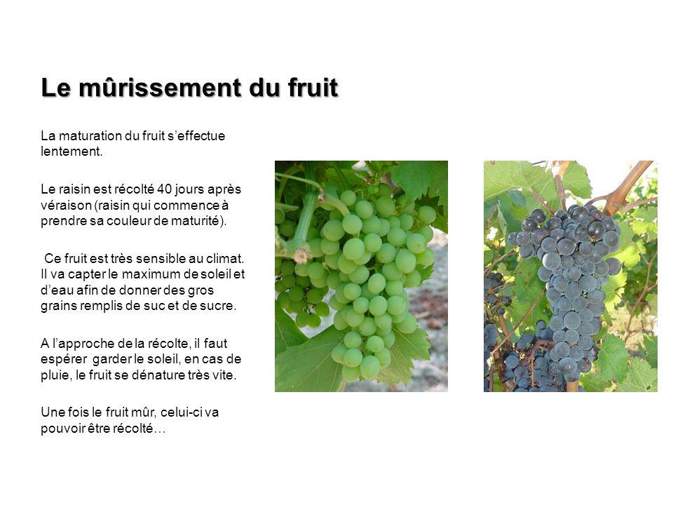 Le mûrissement du fruit