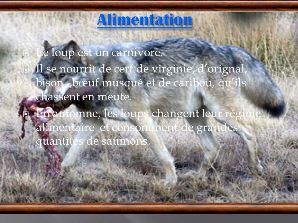 Alimentation Le loup est un carnivore.