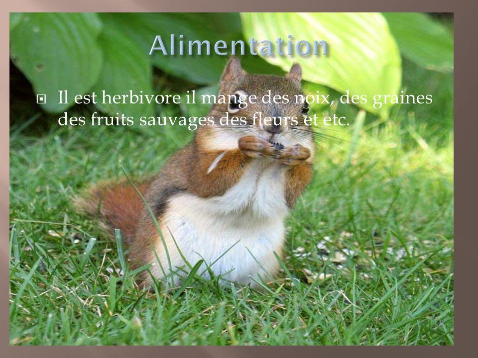 Alimentation Il est herbivore il mange des noix, des graines des fruits sauvages des fleurs et etc.