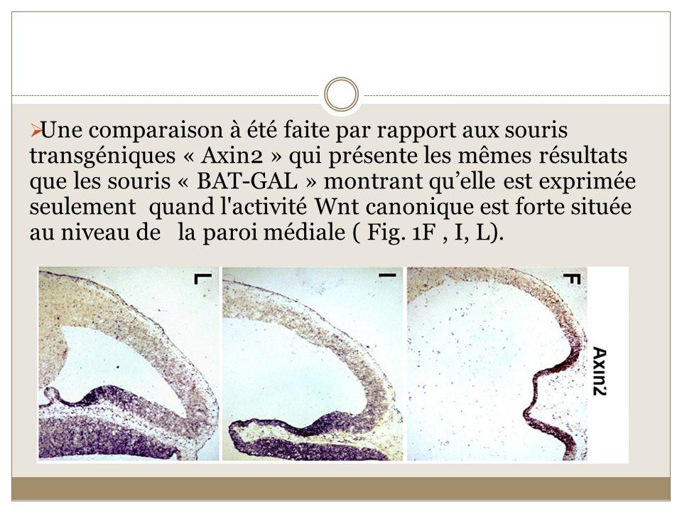 Une comparaison à été faite par rapport aux souris transgéniques « Axin2 » qui présente les mêmes résultats que les souris « BAT-GAL » montrant qu'elle est exprimée seulement quand l activité Wnt canonique est forte située au niveau de la paroi médiale ( Fig.