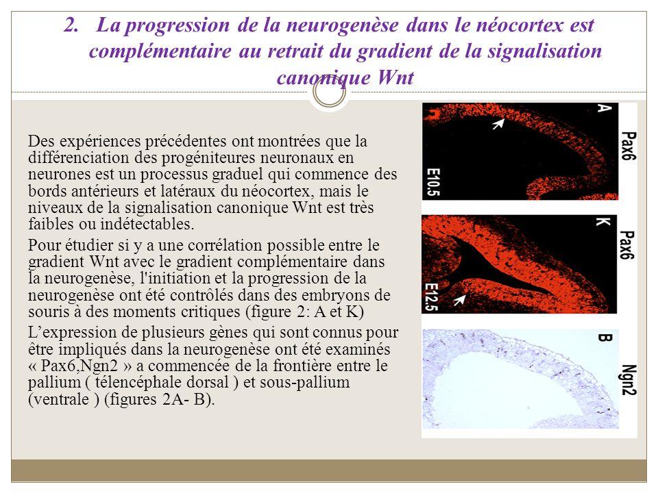 La progression de la neurogenèse dans le néocortex est complémentaire au retrait du gradient de la signalisation canonique Wnt