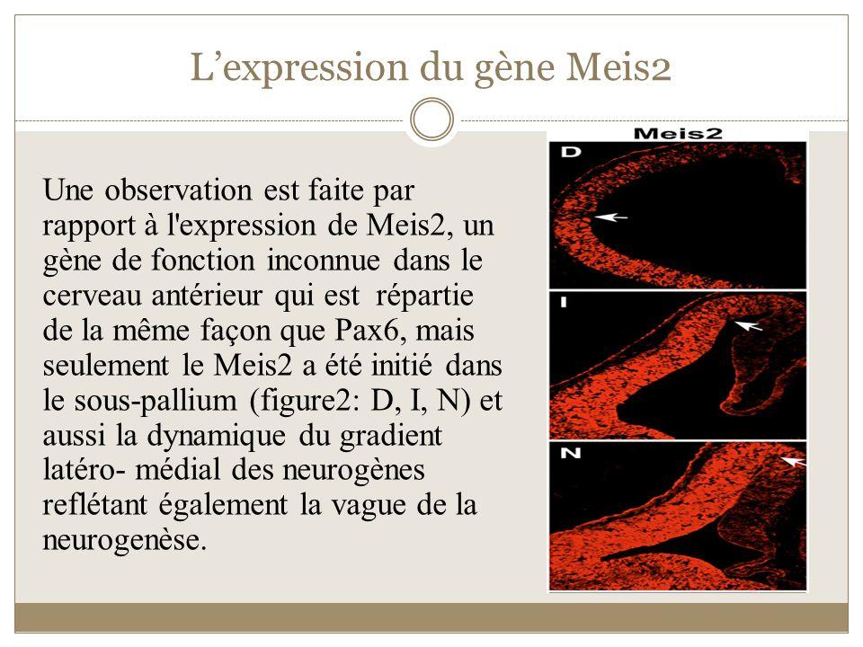 L'expression du gène Meis2