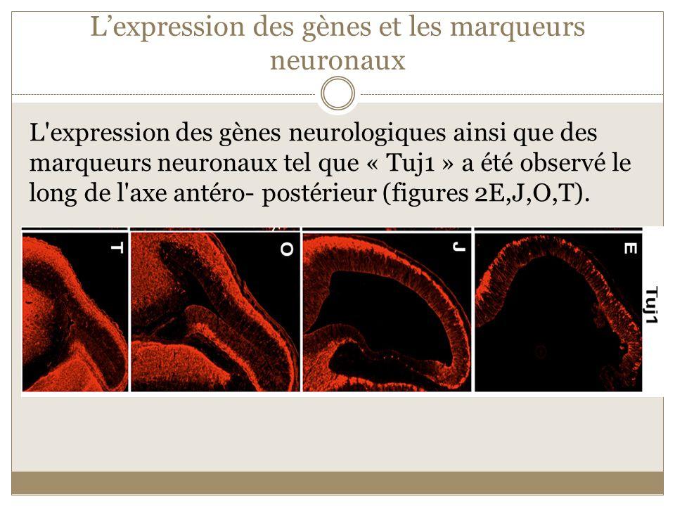 L'expression des gènes et les marqueurs neuronaux