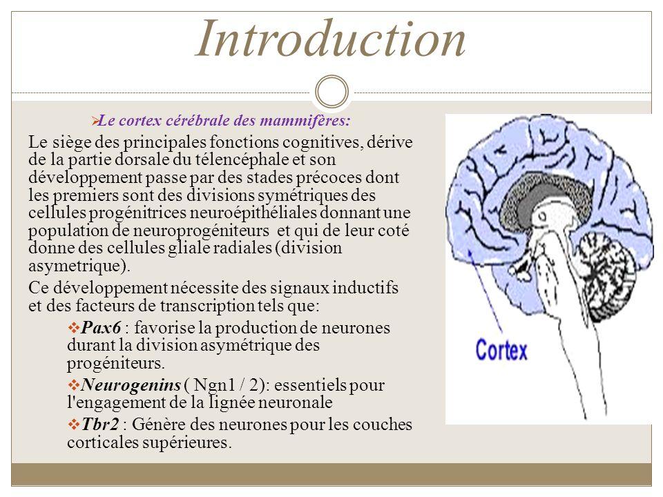 Le cortex cérébrale des mammifères: