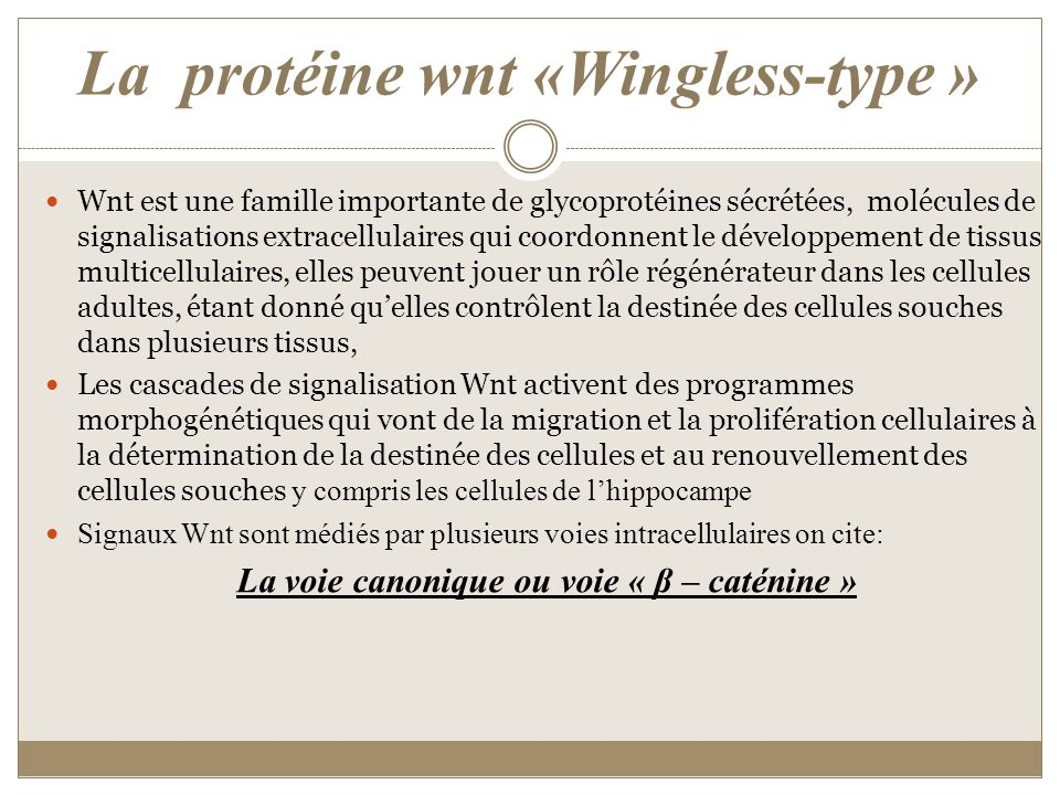 La protéine wnt «Wingless-type »