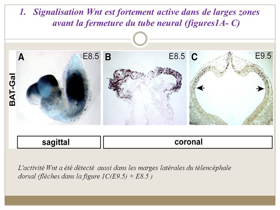 Signalisation Wnt est fortement active dans de larges zones avant la fermeture du tube neural (figures1A- C)
