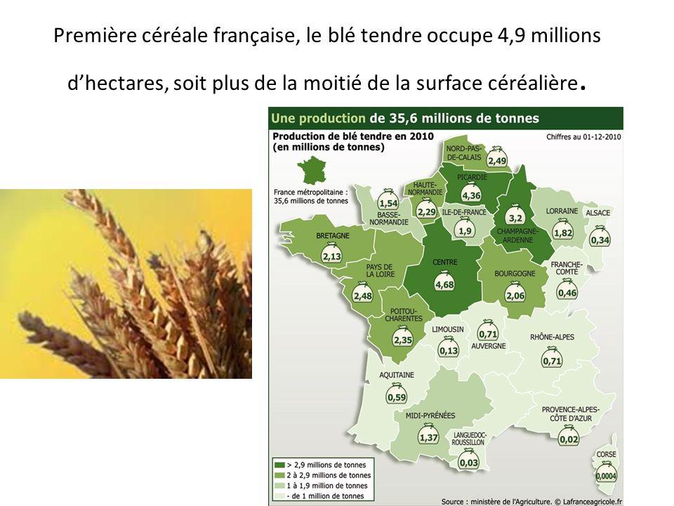 Première céréale française, le blé tendre occupe 4,9 millions d'hectares, soit plus de la moitié de la surface céréalière.