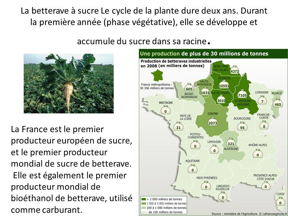 La betterave à sucre Le cycle de la plante dure deux ans