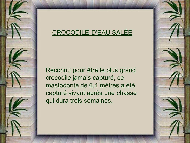 CROCODILE D'EAU SALÉE Reconnu pour être le plus grand. crocodile jamais capturé, ce. mastodonte de 6,4 mètres a été.