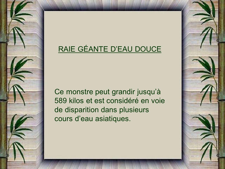RAIE GÉANTE D'EAU DOUCE
