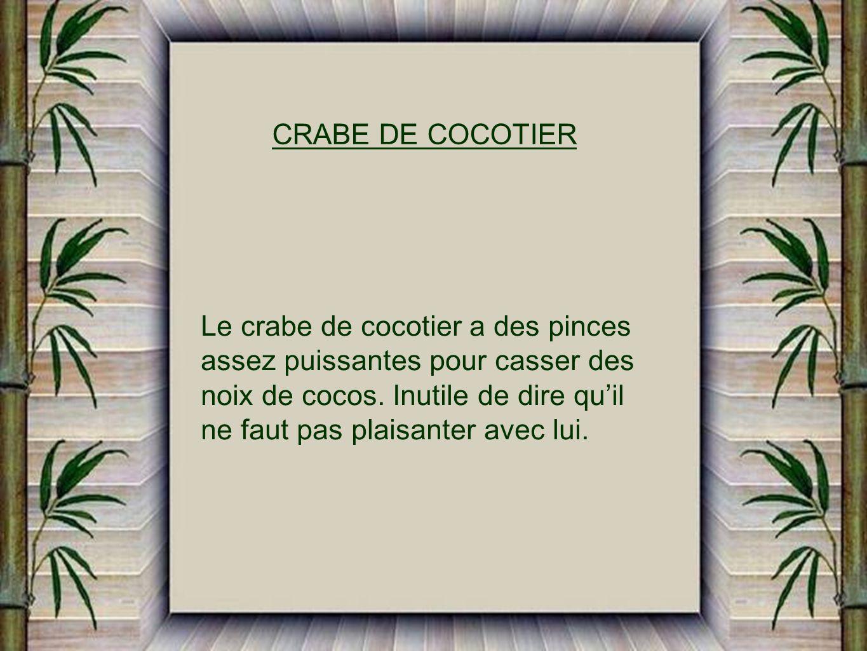 CRABE DE COCOTIER Le crabe de cocotier a des pinces. assez puissantes pour casser des. noix de cocos. Inutile de dire qu'il.