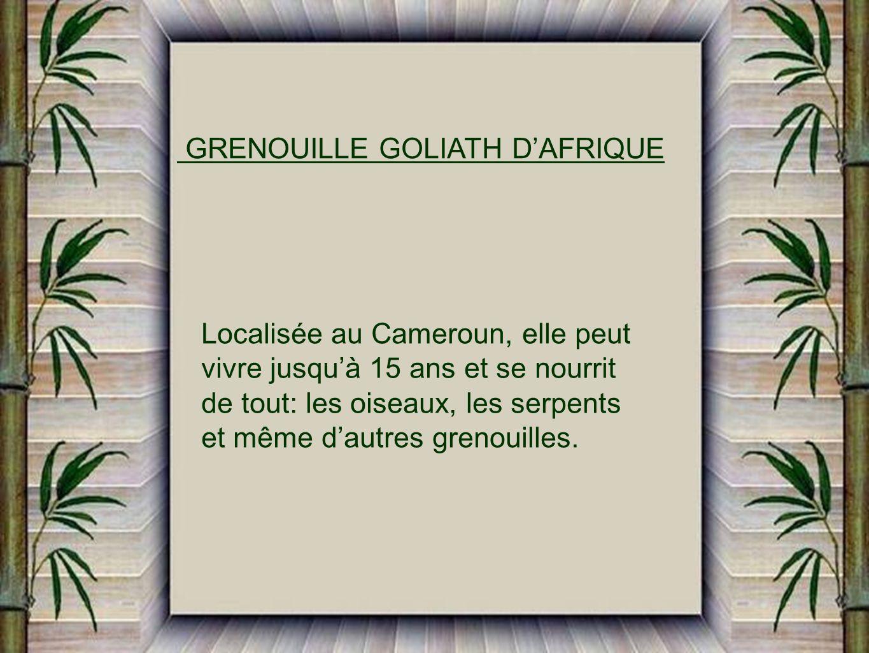 GRENOUILLE GOLIATH D'AFRIQUE