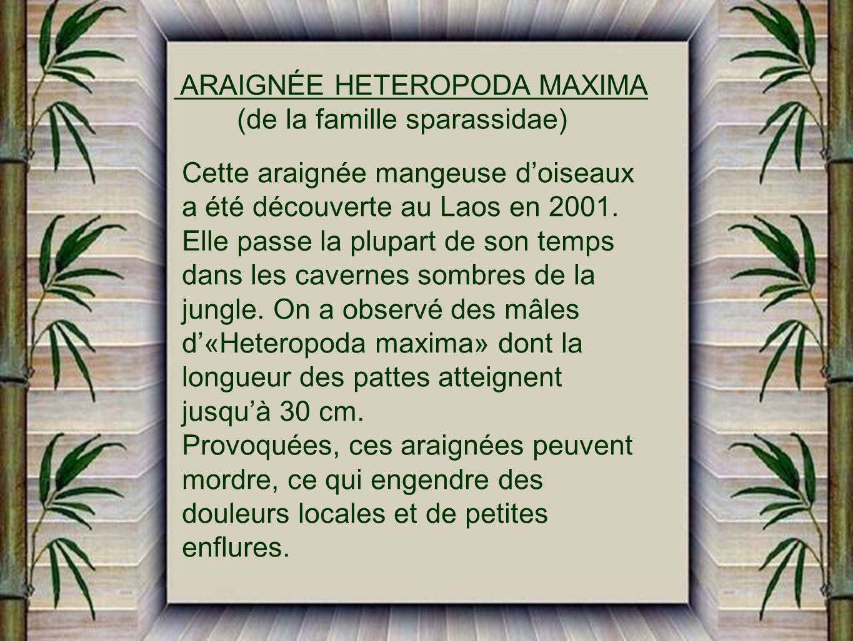 ARAIGNÉE HETEROPODA MAXIMA