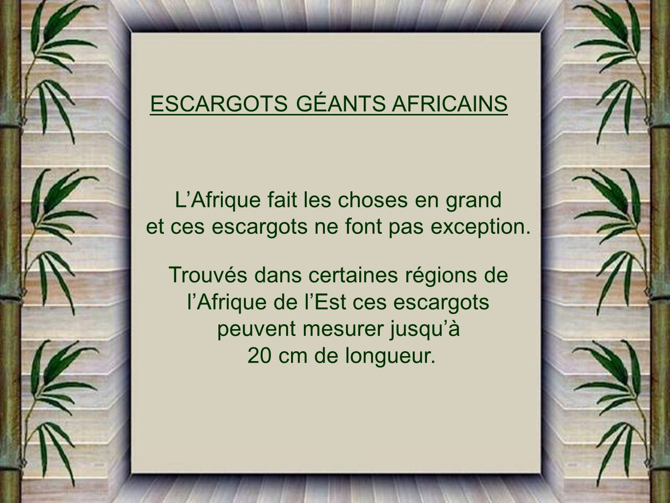 ESCARGOTS GÉANTS AFRICAINS