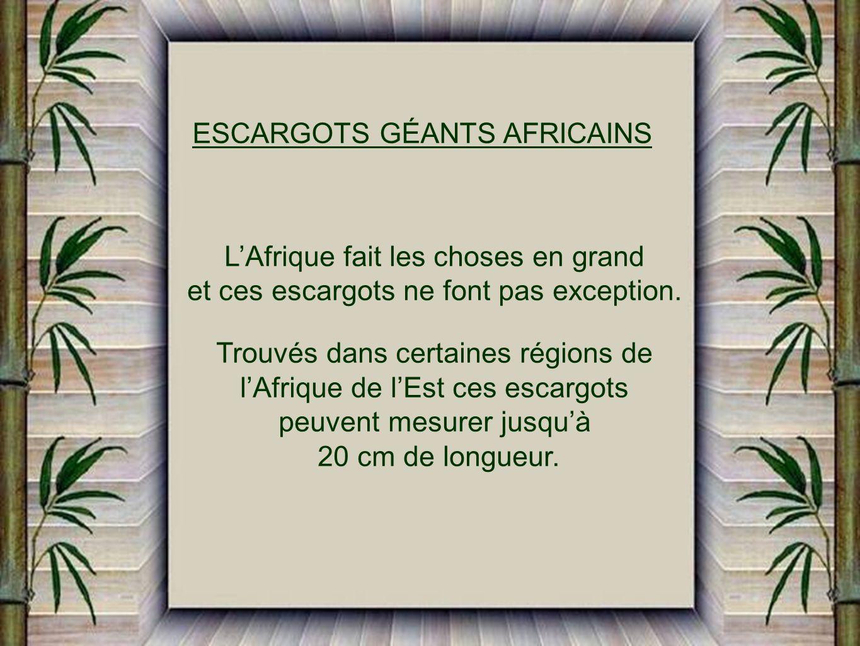 ESCARGOTS GÉANTS AFRICAINS