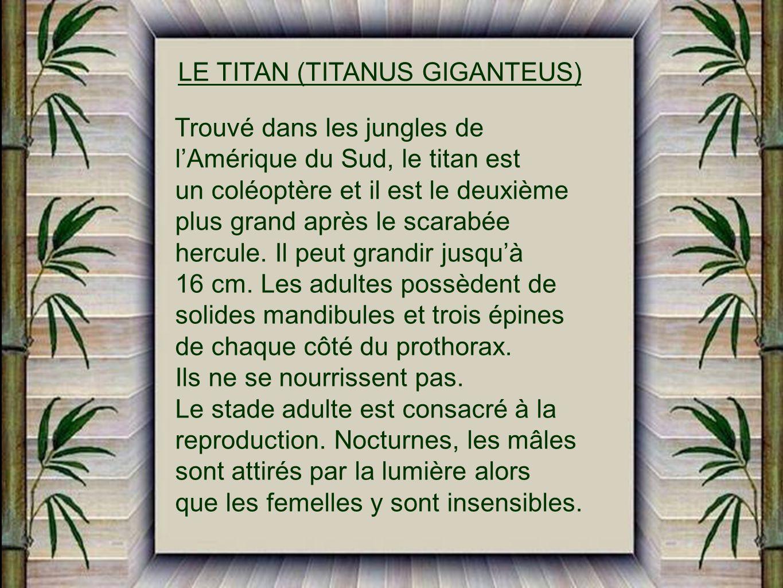 LE TITAN (TITANUS GIGANTEUS)