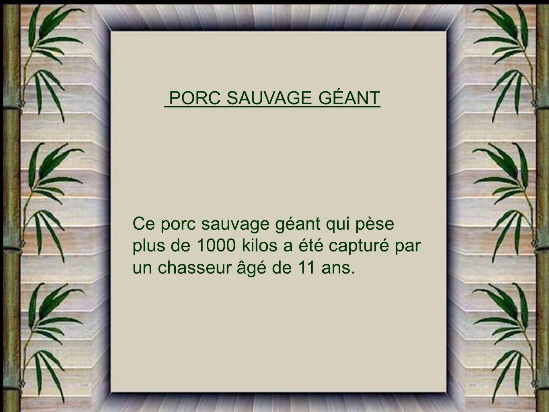 PORC SAUVAGE GÉANT Ce porc sauvage géant qui pèse.
