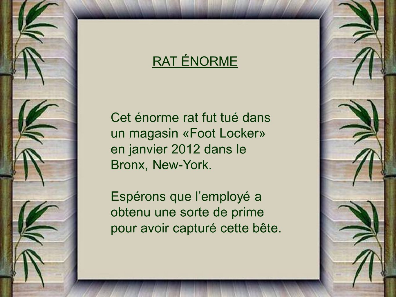 RAT ÉNORME Cet énorme rat fut tué dans. un magasin «Foot Locker» en janvier 2012 dans le. Bronx, New-York.