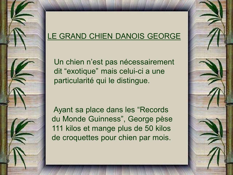 LE GRAND CHIEN DANOIS GEORGE