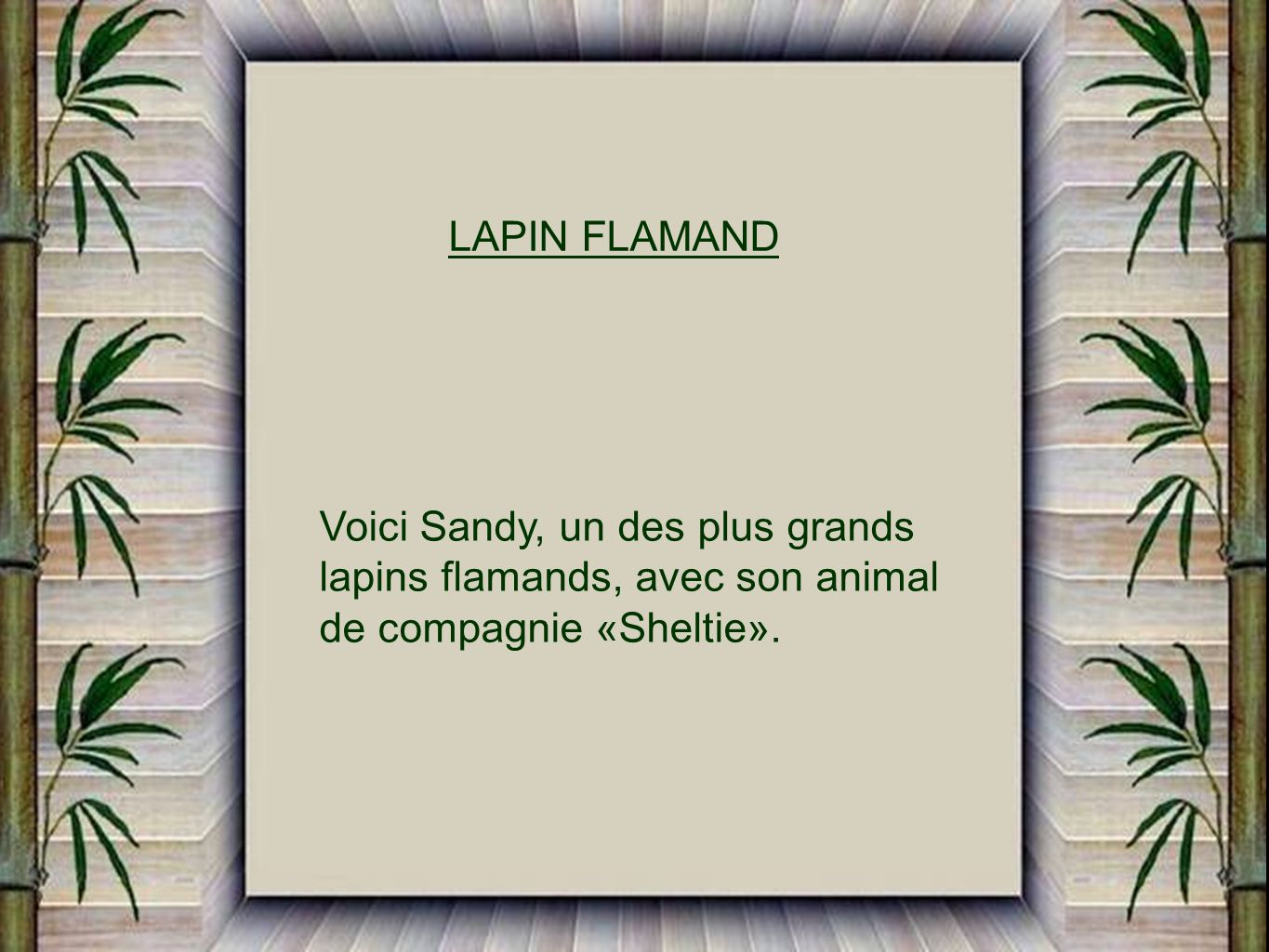 LAPIN FLAMAND Voici Sandy, un des plus grands. lapins flamands, avec son animal.