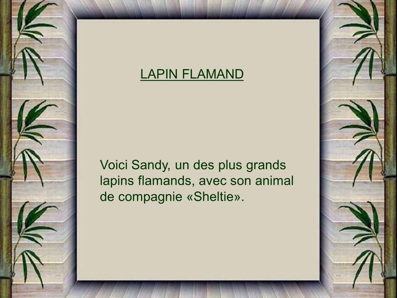 LAPIN FLAMAND Voici Sandy, un des plus grands. lapins flamands, avec son animal.