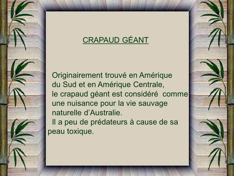 CRAPAUD GÉANT Originairement trouvé en Amérique. du Sud et en Amérique Centrale, le crapaud géant est considéré comme.