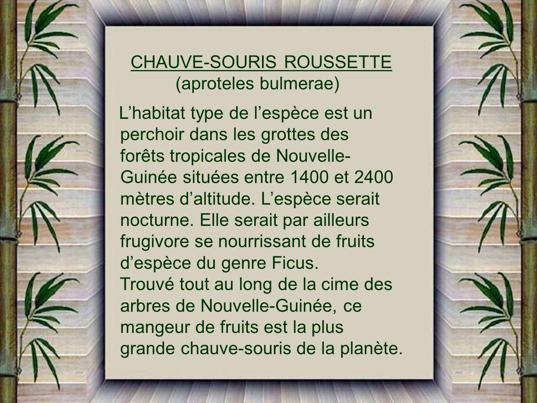 CHAUVE-SOURIS ROUSSETTE (aproteles bulmerae)