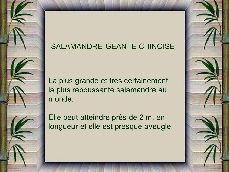 SALAMANDRE GÉANTE CHINOISE
