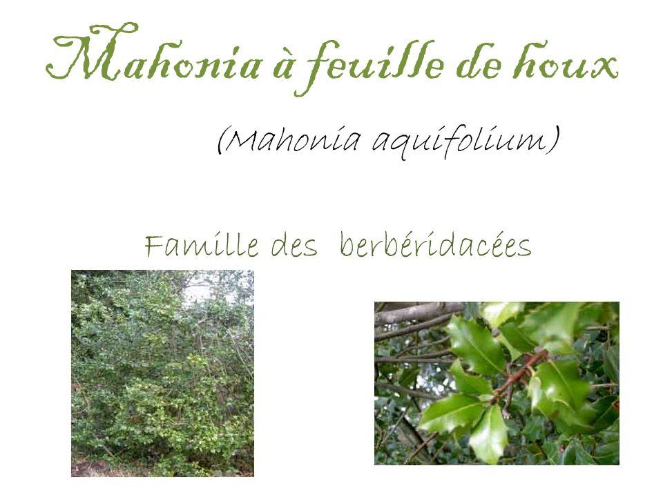 Mahonia à feuille de houx