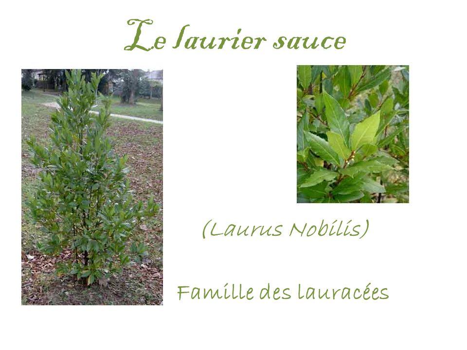 (Laurus Nobilis) Famille des lauracées