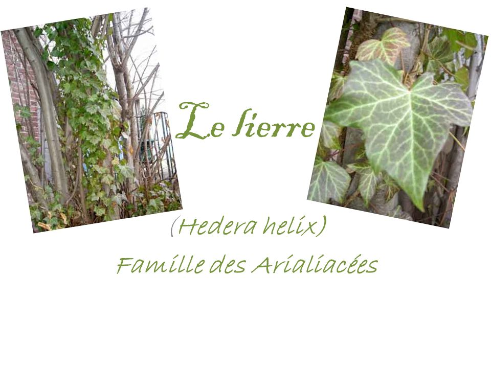 (Hedera helix) Famille des Arialiacées
