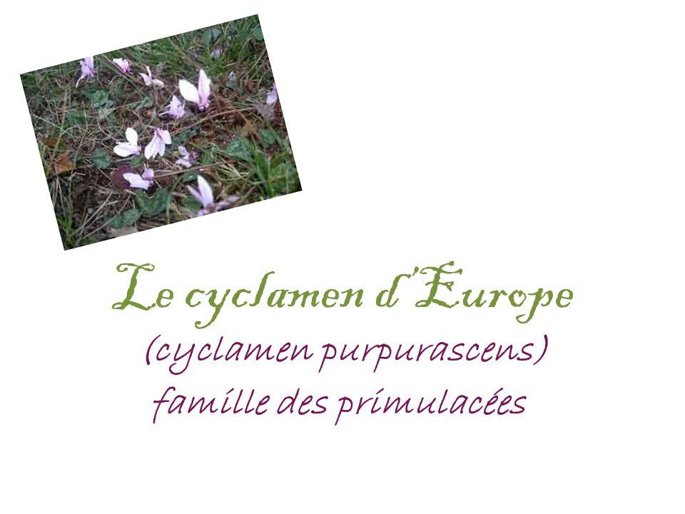 Le cyclamen d'Europe (cyclamen purpurascens)