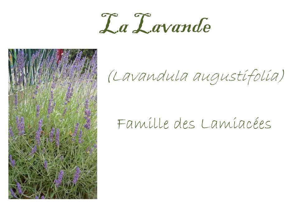 (Lavandula augustifolia) Famille des Lamiacées