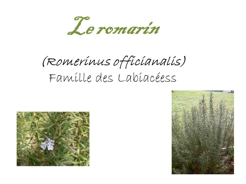(Romerinus officianalis)