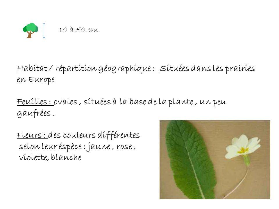 Feuilles : ovales , situées à la base de la plante , un peu gaufrées .