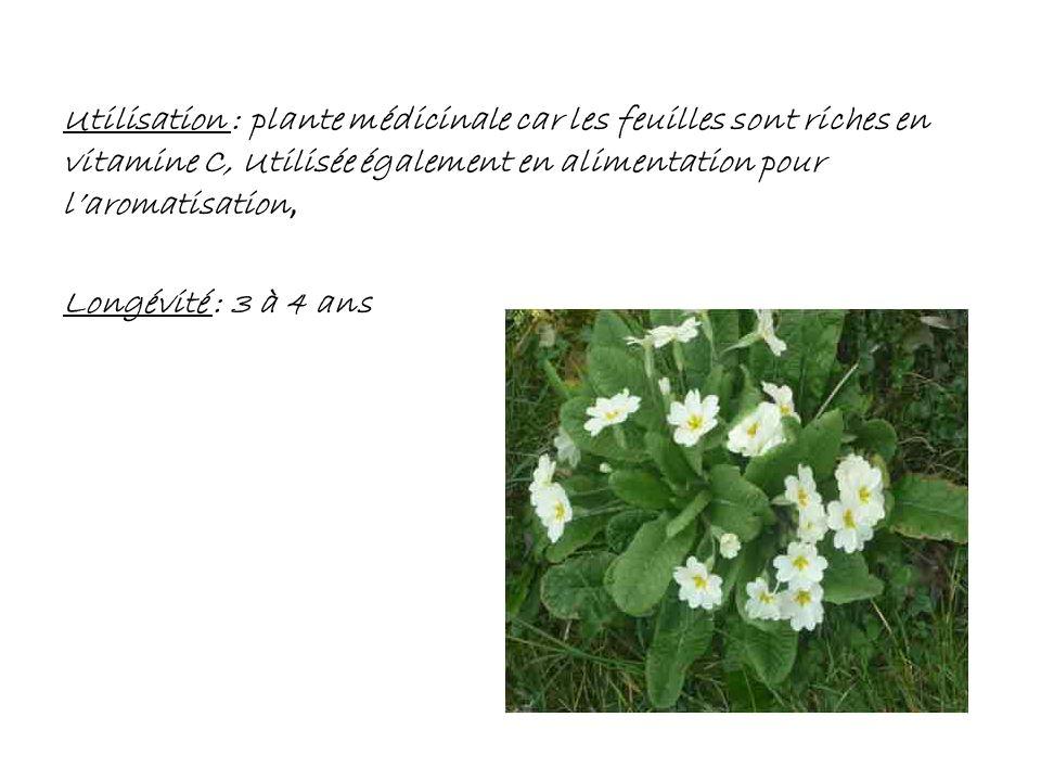 Utilisation : plante médicinale car les feuilles sont riches en vitamine C, Utilisée également en alimentation pour l'aromatisation, Longévité : 3 à 4 ans