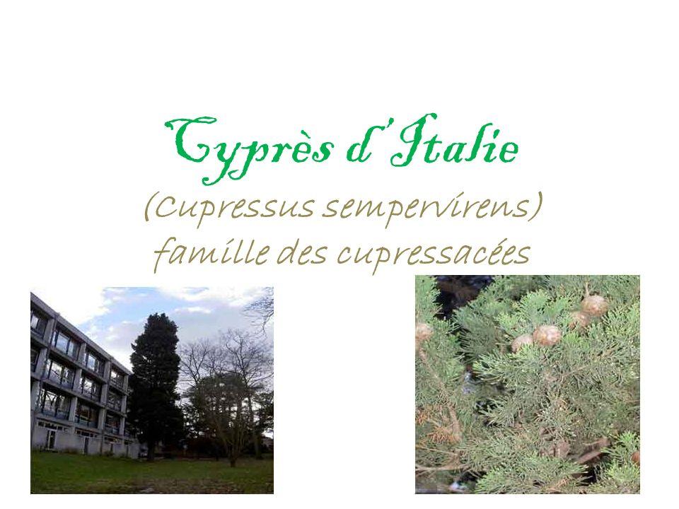 Cyprès d'Italie (Cupressus sempervirens) famille des cupressacées