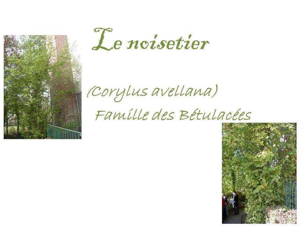 (Corylus avellana) Famille des Bétulacées