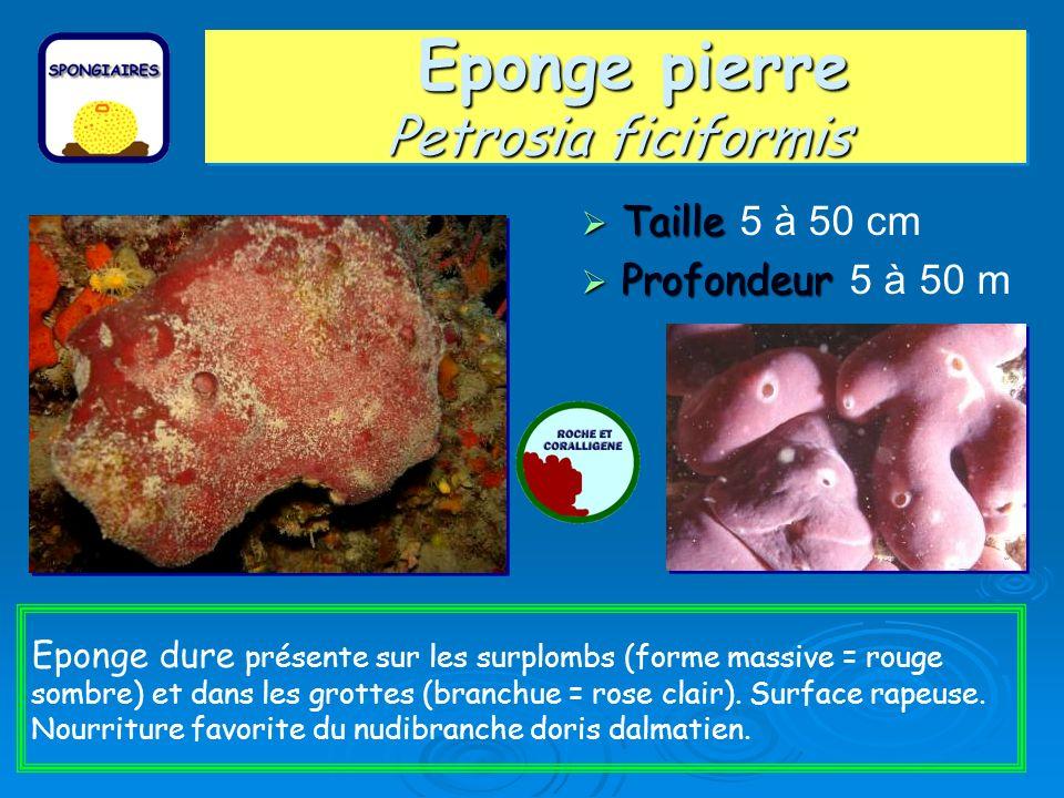 Eponge pierre Petrosia ficiformis