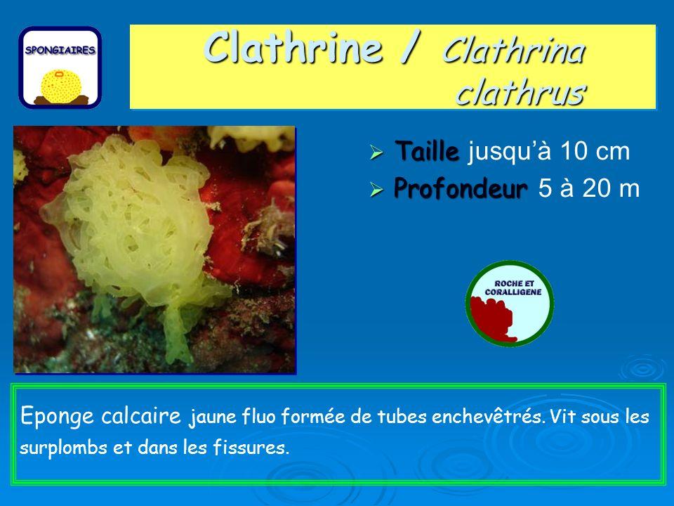 Clathrine / Clathrina clathrus