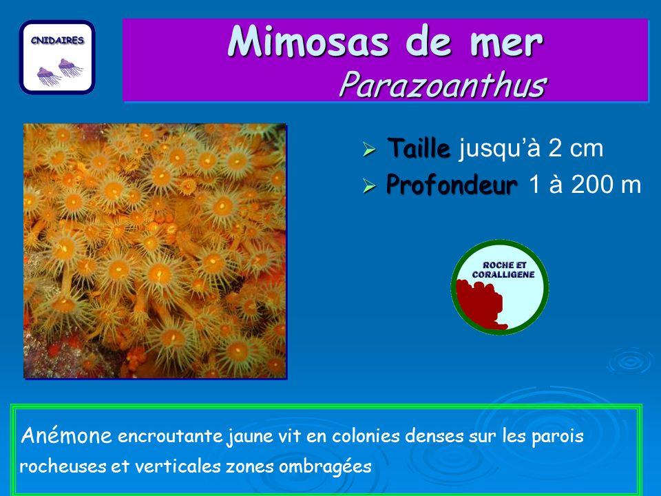 Mimosas de mer Parazoanthus